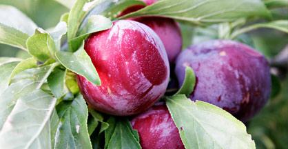 Ciruela. Frutas Berdejo