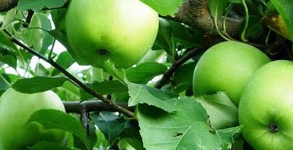 Manzana. Frutas Berdejo