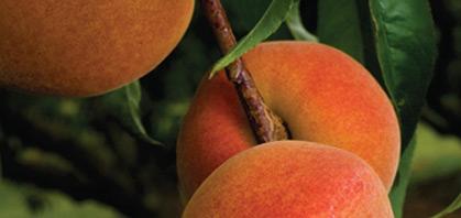 Melocotón. Frutas Berdejo