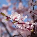 Graves daños en caso de heladas en marzo España: La falta de frío podría adelantar la floración en fruta de hueso