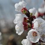 Italia: La floración del albaricoquero se retrasa en el sur pero se adelanta en el norte