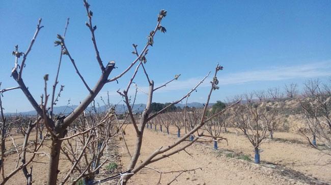 España: Murcia estima en 14,7 M€ las pérdidas provocadas por las heladas