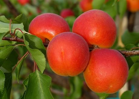 España: Arranca la campaña de fruta de hueso en el norte