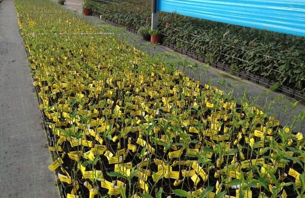 «Despierta la demanda de plantas frutales de hueso tras 4 años de poca inversión»