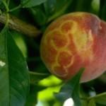 Aragón establece un plan para frenar la expansión del virus Sharka-m entre los frutales de hueso