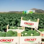 La frase que más se repite en el sector del brócoli y la coliflor: «No hay ventas»