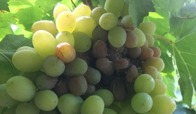 Chile: Se triplican pérdidas de los productores de fruta por catástrofe agrícola