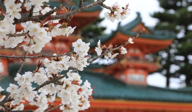 EFECTOS DEL CAMBIO CLIMÁTICO: La floración de cerezos de Japón más temprana en 1.200 años: adivina el motivo