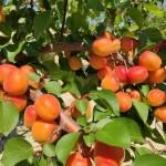 """Nuevas variedades de albaricoque, nectarina, nectarina plana y paraguayo «El cambio climático que afecta a Europa exige la obtención de nuevas variedades adaptadas"""""""