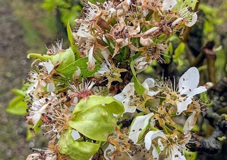 Del Piamonte a la Toscana, fuertes pérdidas de fruta de hueso y daños en kiwi y fruta de pepita