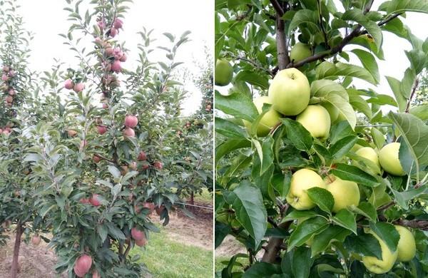 «Espero que la cosecha de manzanas polacas sea tres veces mayor que la del año pasado»